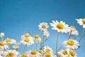 Free Wild Camomiles On A Blue Sky. Stock Photos - 27262473