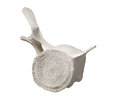 Free Whale Vertebra Bone Section Isolated. Royalty Free Stock Photo - 27267425