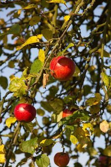 Free Red Apples In The Late Summer Royalty Free Stock Images - 27260959