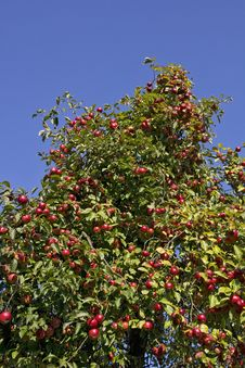 Free Red Apples In The Late Summer Stock Photos - 27261163