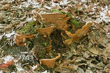 Mushroom Wood Stock Photography