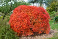 Free Acer Tree Known As Japanese Maple Stock Image - 27267431