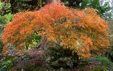 Free Acer Tree Known As Japanese Maple Stock Photography - 27267432