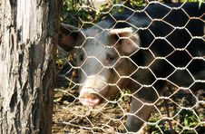 Free Pig Royalty Free Stock Photography - 27267487