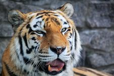 Free Tiger Royalty Free Stock Photo - 27268195