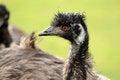 Free An Emu Staring Royalty Free Stock Image - 27270646