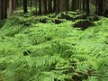 Free Green Ferns In A Forest Stock Photo - 27271350