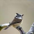 Free Bird Crested Tit &x28;Parus Cristatus&x29; Stock Photography - 27271562