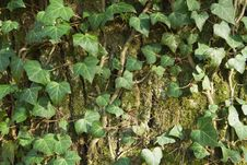Closeup Of An Ivy Leaves On A Tree Trunk Royalty Free Stock Photos