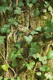 Closeup Of An Ivy Leaves On A Tree Trunk Stock Photo