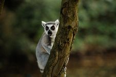 Free A Lemur In A Tree Royalty Free Stock Photos - 27270758