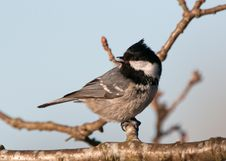 Free Bird Coal Tit &x28;Parus Ater&x29; Looking Behind Royalty Free Stock Photography - 27271547