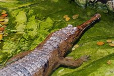 Free Gharial Stock Photo - 27272640