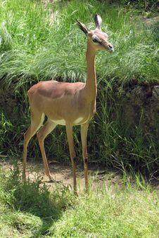 Free Antelope Royalty Free Stock Image - 27273086