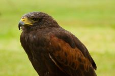 Free Portrait Of Harris Hawk Royalty Free Stock Photo - 27276235