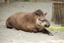 Free Tapir Stock Photography - 27276482
