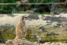 A Cute Meerkat Royalty Free Stock Images