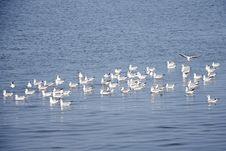 Free Flock Of Seagulls. Royalty Free Stock Photos - 27279188