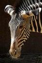 Free Zebra Royalty Free Stock Photography - 27281517