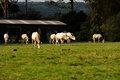 Free A Herd Of Oryx Stock Photography - 27282952