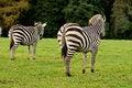 Free Two Zebras Royalty Free Stock Photo - 27289035