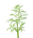 Free Dill Royalty Free Stock Image - 27289626