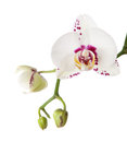 Free A Purple Spotted Or Splotched Phalaenopsis. Royalty Free Stock Image - 27289676