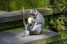 Free Monkey Eating Fruit In Ubud Forest, Bali Royalty Free Stock Photo - 27280545