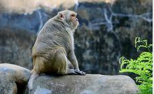 Free Monkey On Rock Royalty Free Stock Photos - 27280718