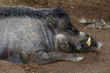 Free Wild Pig Royalty Free Stock Images - 27281609