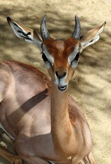 Free Young Antelope Stock Photos - 27281613