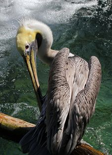 Free Pelican Royalty Free Stock Photo - 27281755