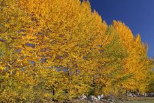 Free Autumn Trees Stock Images - 27284724