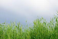 Free Green Wheat Field Stock Photos - 27286363