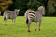 Free Two Zebras Royalty Free Stock Photo - 27289035