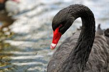 Free A Black Swan Stock Images - 27289374