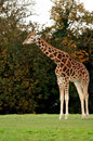 Free A Giraffe Standing Tall Royalty Free Stock Photography - 27294527