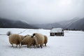 Free TRANSYLVANIAN SHEEP AND FARMHOUSE Royalty Free Stock Images - 27297879