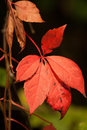 Free Red Autumn Leaves Royalty Free Stock Image - 27298796