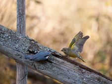 Free Nuthach Vs Greenfinch Royalty Free Stock Photography - 27293837