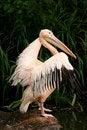 Free Pelican Preparing For Flight Royalty Free Stock Photo - 2730395