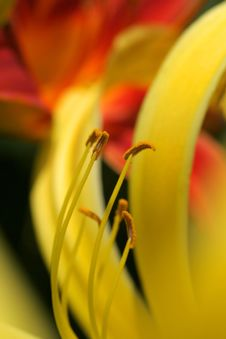 Free Close Up Of Lilly Stock Images - 2731504