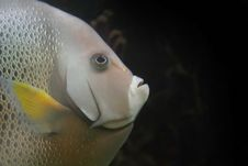Free Fish Close Up Royalty Free Stock Photos - 2731508