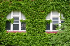 Ivy Growing On Wall Royalty Free Stock Image