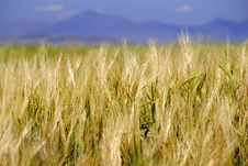 Free Field Of Grain Royalty Free Stock Photography - 2733147