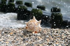 Free A Beautiful Giant Sea Shell Royalty Free Stock Photos - 2733268
