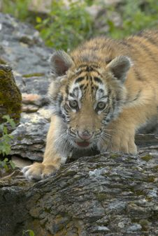Free Siberian Tiger Cub Stock Photo - 2733800