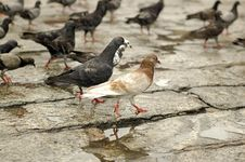 Free Pigeons Stock Images - 2735384