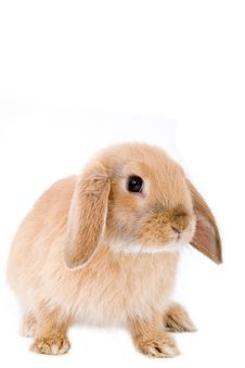Free Brown-white Bunny, Isolated Stock Images - 2735474