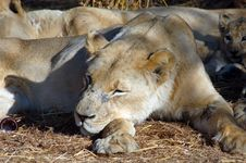 Free Lioness Stock Image - 2735541
